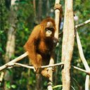 Ape In A Tree