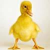 Baby Goose
