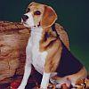 Beagle jpg