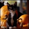 Kitten and pumpkins 2 9