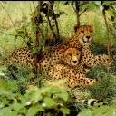 Leopards Family
