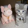 Piggy Kitten