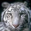 tigers lions avatars 0066