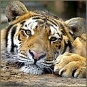 tigers lions avatars 2069