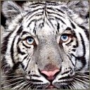 tigers lions avatars 2106