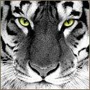 tigers lions avatars 2174